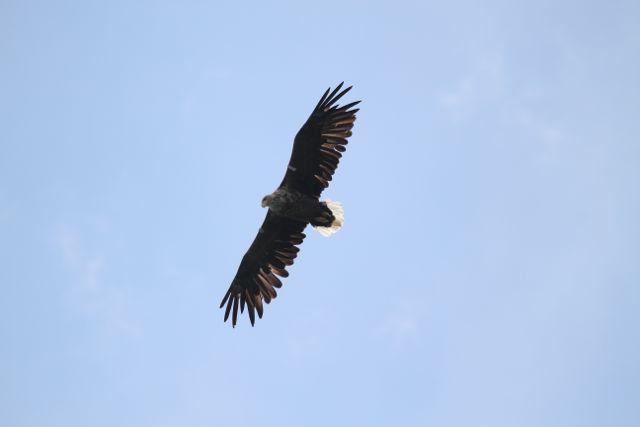 IMG 2318 White-tailed Eagle