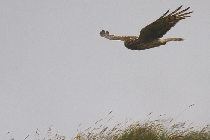 Hen Harrier