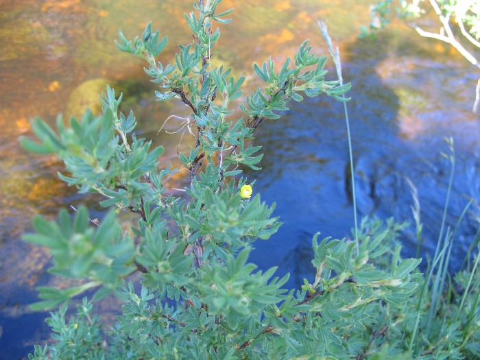 Shrubby Cinquefoil by River Tees nr Low Force