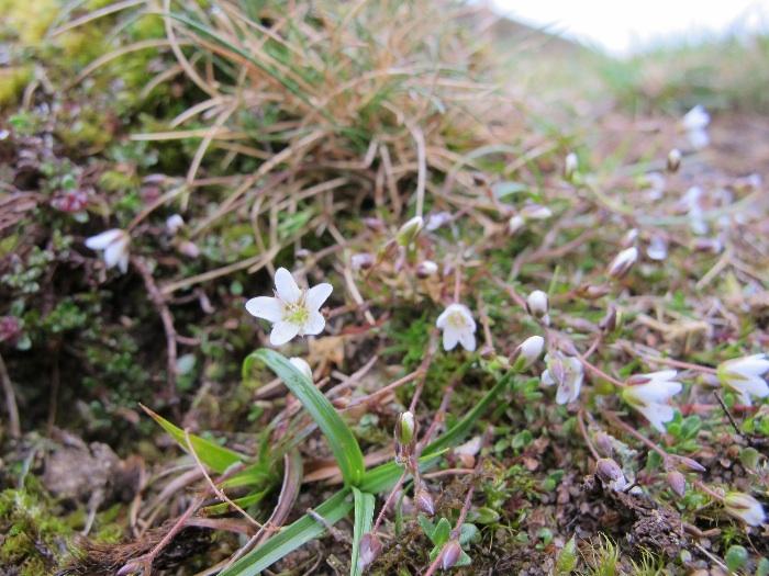 Spring Sandwort   Minuartia verna