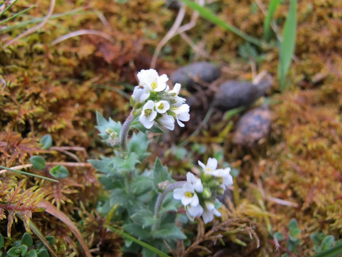 Hoary Whitlow-grass   Draba  incana