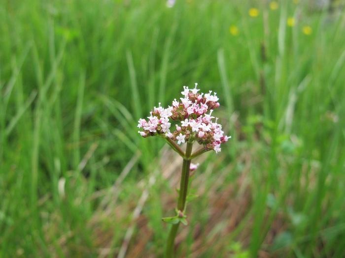 Marsh Valerian