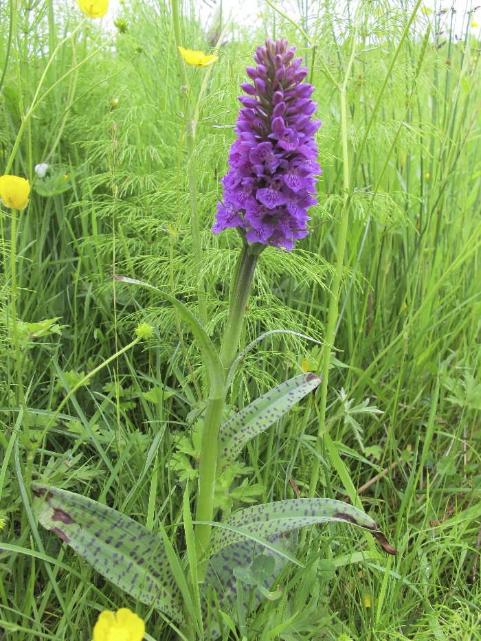 Likely Hybrid Northern Marsh Orchid x Common Spotted Orchid