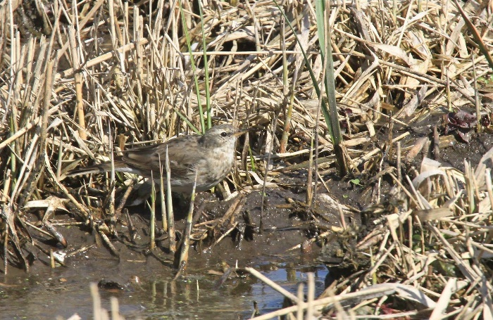 Water Pipit IMG 2998