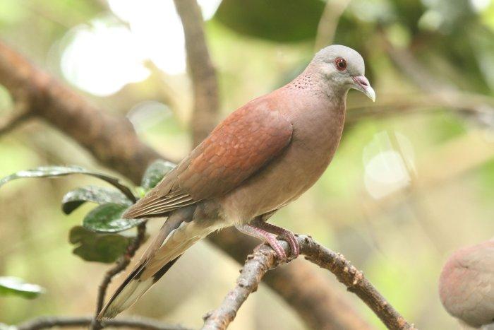 Madagascar Turtle Dove