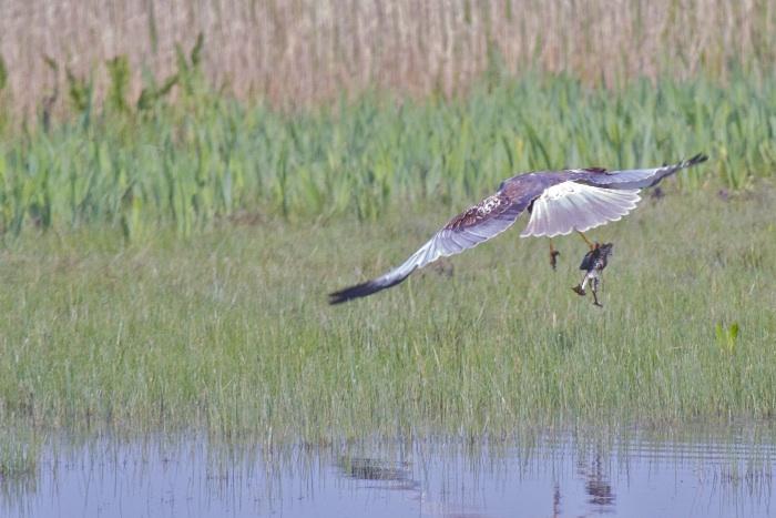Marsh Harrier IMG 3476