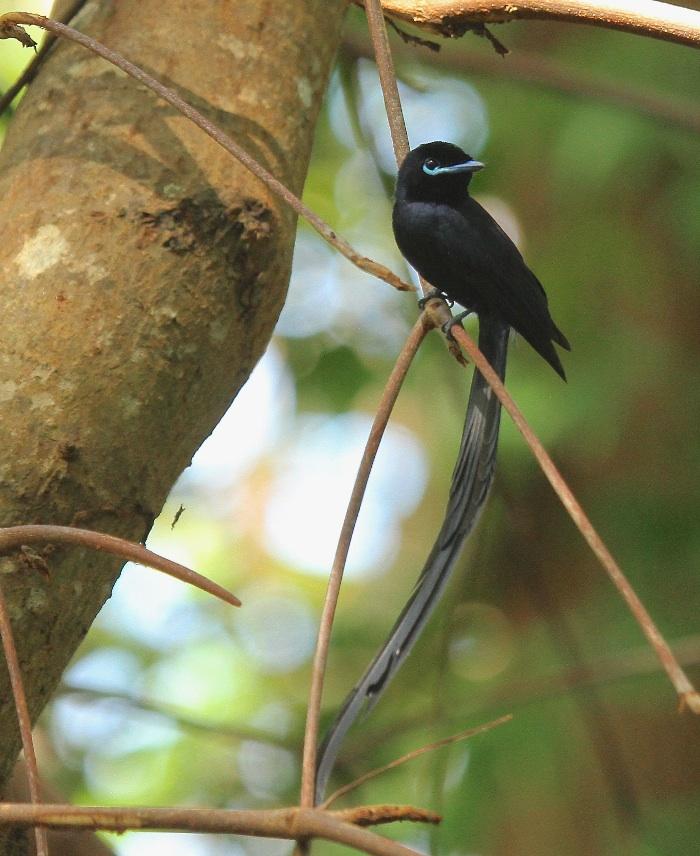 Seychelles Paradise Flycatcher (male)