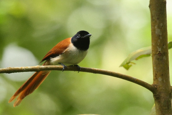 Seychelles Paradise Flycatcher (female)