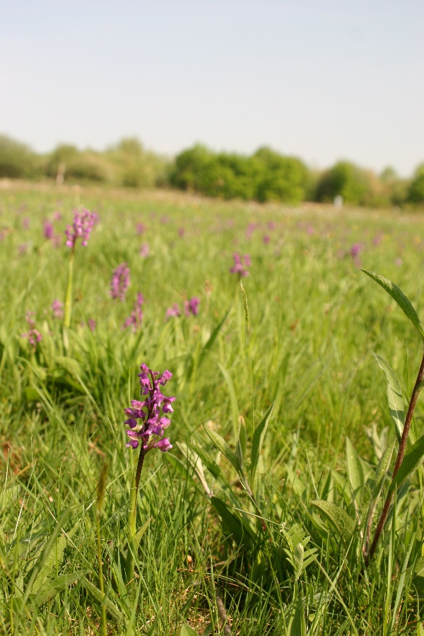 Green-winged Orchid
