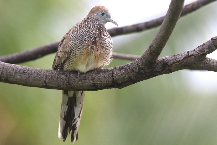 Barred Ground Dove