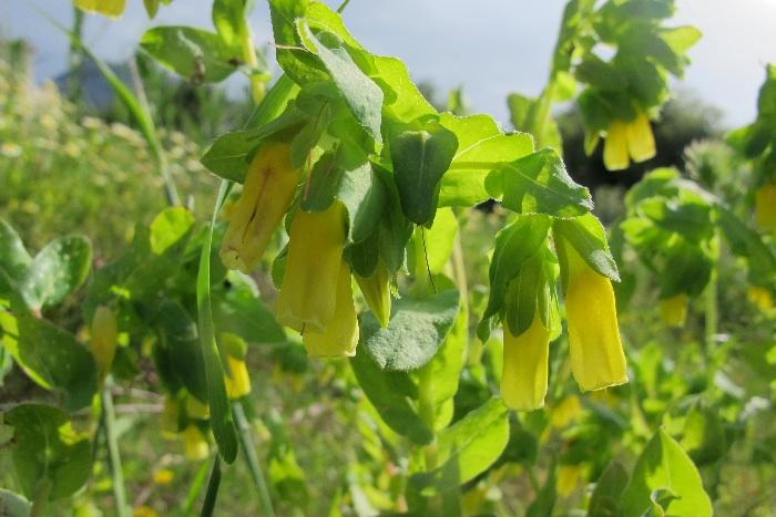 Yellow Honeywort