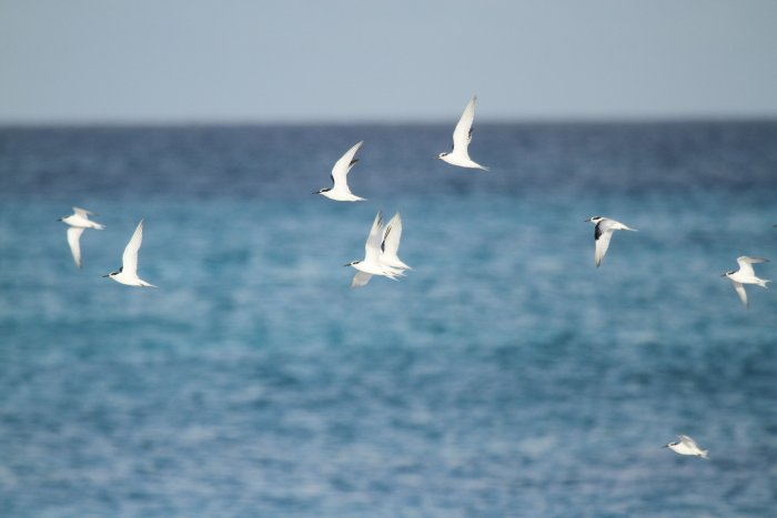 Saunders Terns