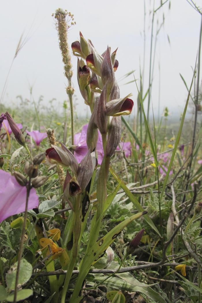 Tongue Orchid (Serapias lingua group)