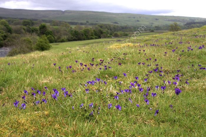 Mountain Pansies Viola lutea