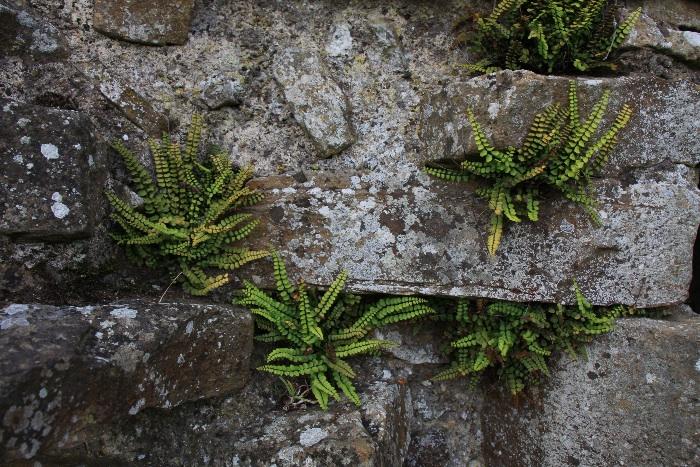 Maidenhair spleenwort