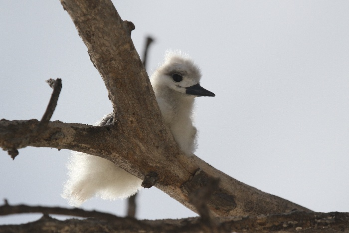 White Tern (sometimes known as Fairy Tern) chick