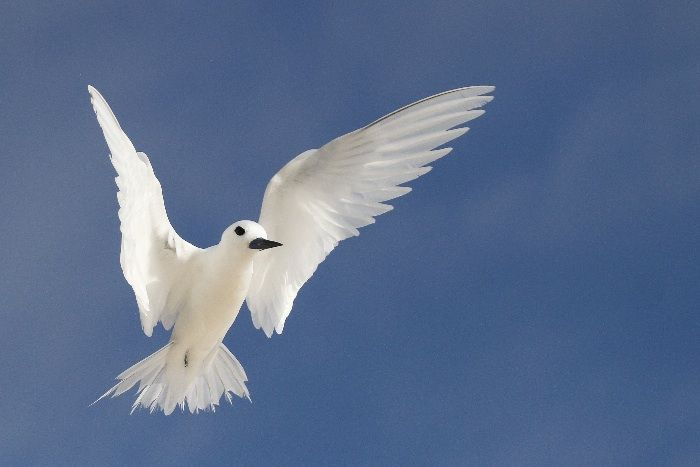 White Tern (sometimes known as Fairy Tern)