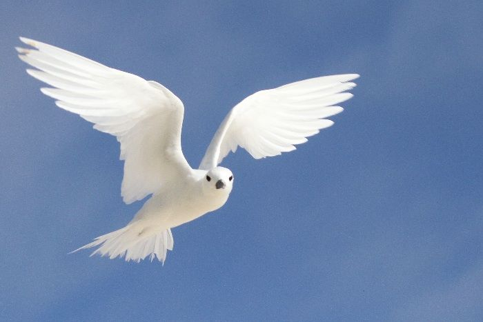 White Tern (sometimes known as Fairy Tern)