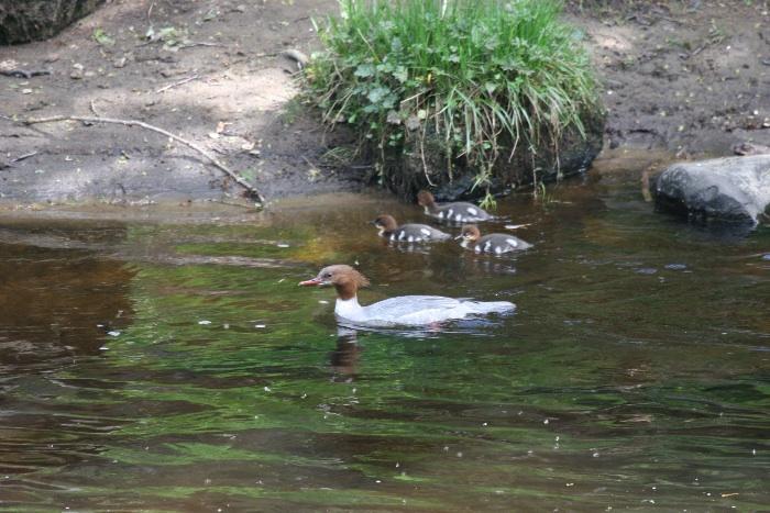 Goosander (female) with ducklings