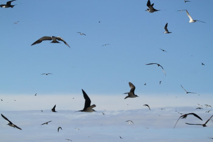 Sooty Terns. A small part of the colony on Bird Island.