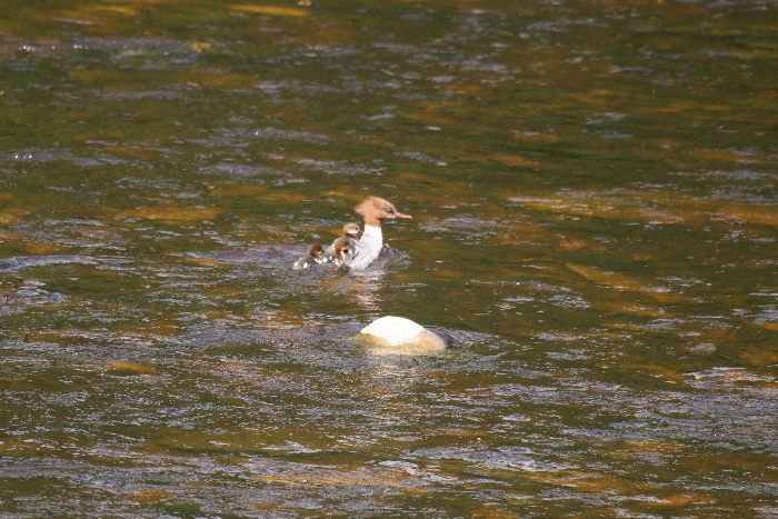 Goosander (female) with ducklings on back