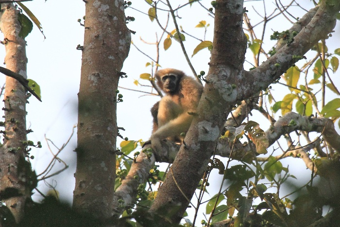 Hoolock Gibbon (female)