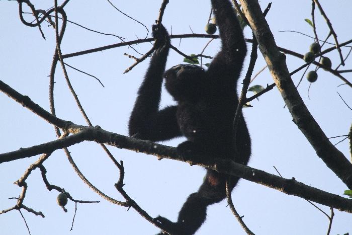 Hoolock Gibbon (male)