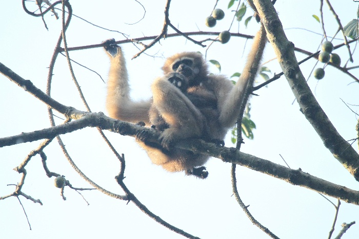 Hoolock Gibbon (female) and juvenile