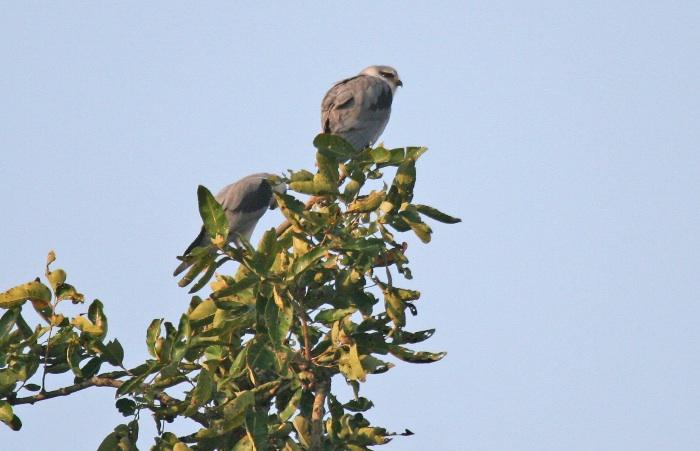 Black-winged Kite (Black shouldered Kite)
