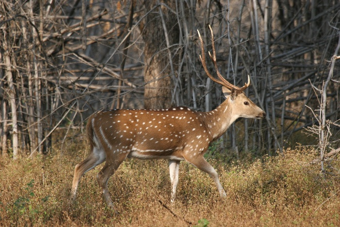 Cheetal (Spotted Deer)