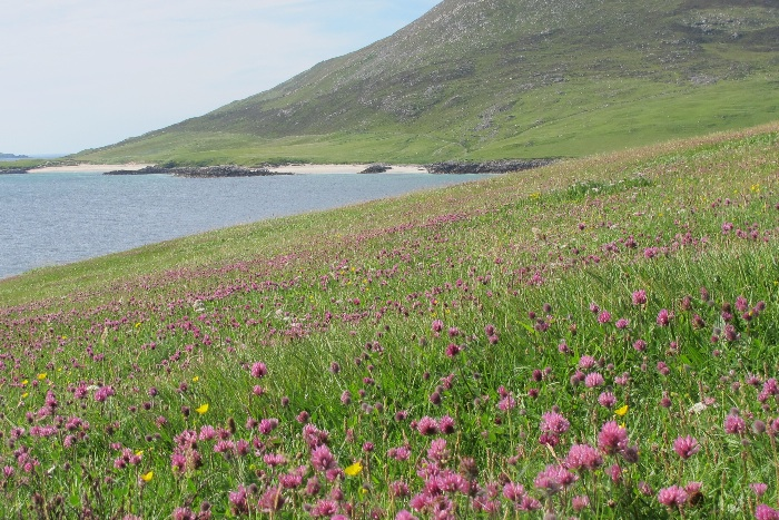 Red campion in the Machair