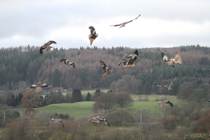 Red Kites: feeding melee