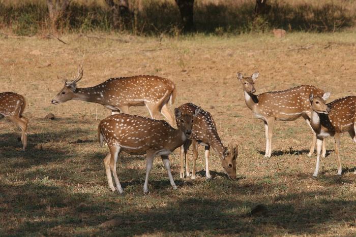 Spotted Deer (Cheetal)