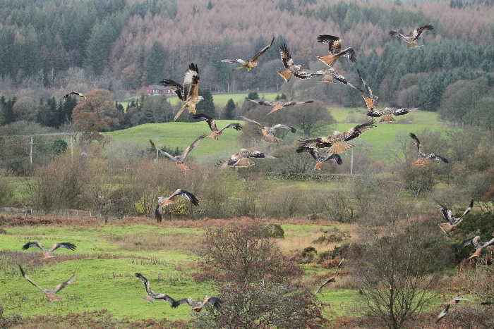 Red Kites: feeding melee