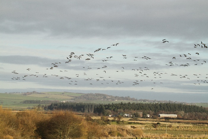 Part of a large flock of Barnacle Geese