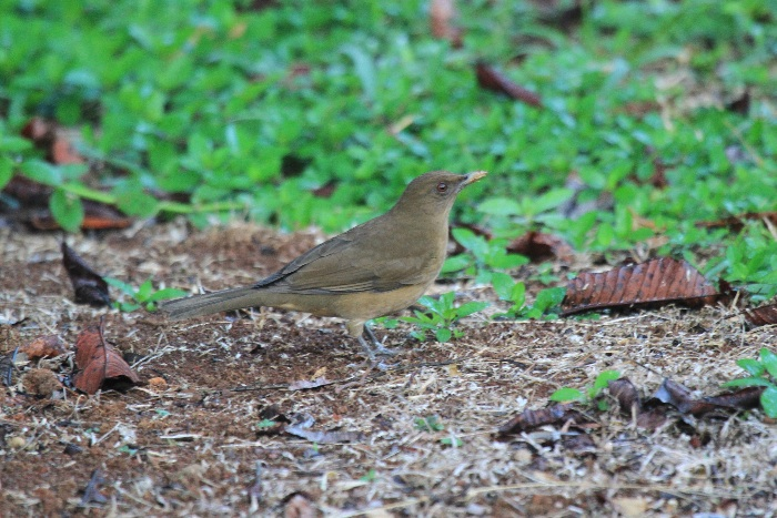 Clay-coloured Robin/Thrush