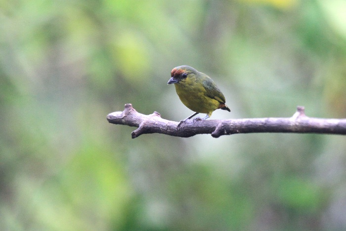 Olive-backed Euphonia (female)