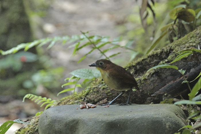 "Yellow-breasted Antpitta (""Willy"")"