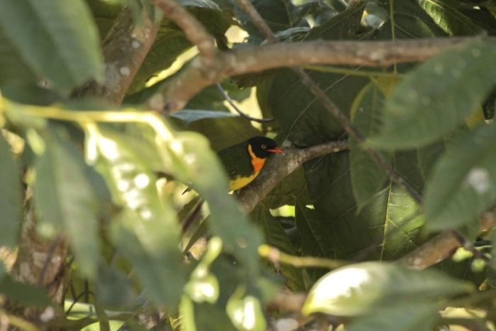 Orange-breasted Fruiteater (male)