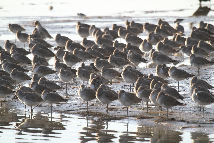Willets at roost