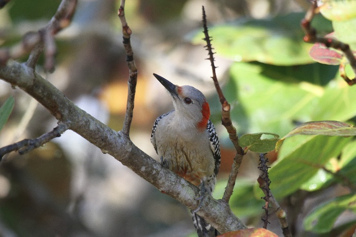 Red -bellied Woodpecker