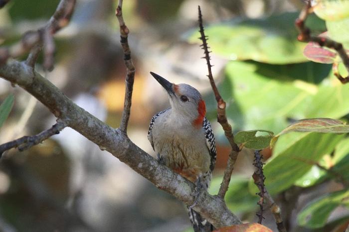 Red -bellied Woodpecker