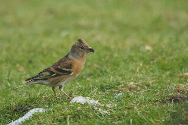 Brambling: a rare visitor to our garden feeders
