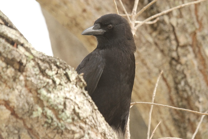 American Crow (or Fish Crow)