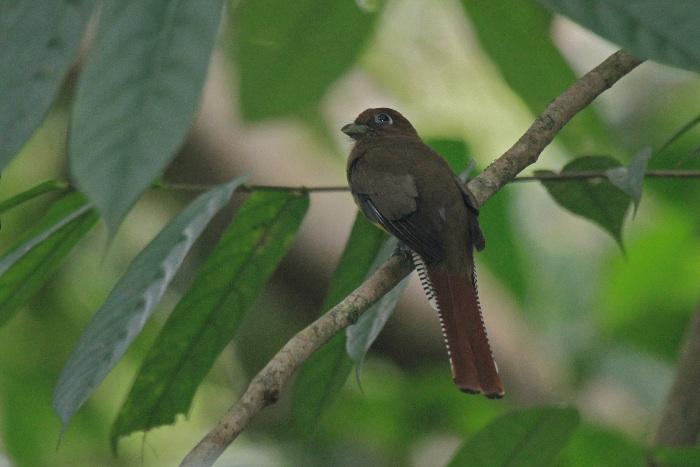 Black-throated Trogon (female)
