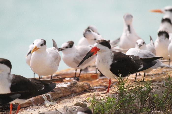 Black Skimmer (and Royal Terns)