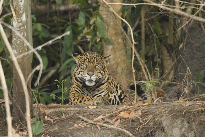 """JJ07 """"Jane Goodall"""" (Jaguar 2)"""