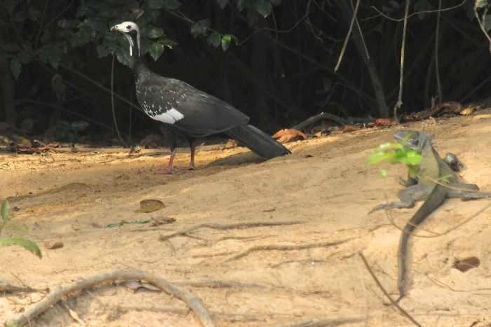 Common Piping Guan