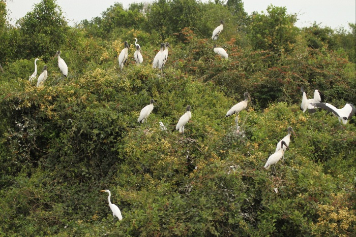 Egret and Wood Stork Colony