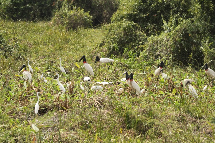 Mainly Wood Storks